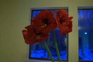 Amaryllis in March