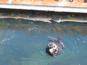 Sea Otters - 2