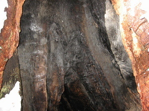 Cool Giant Sequoia - Inside - 1