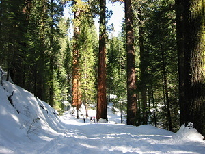 First Glimpse of the Giant Sequoias - 1
