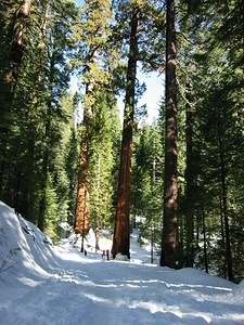 First Glimpse of the Giant Sequoias - 2